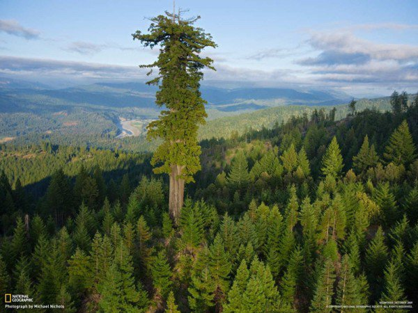 hyperion-tallest-tree-600x450